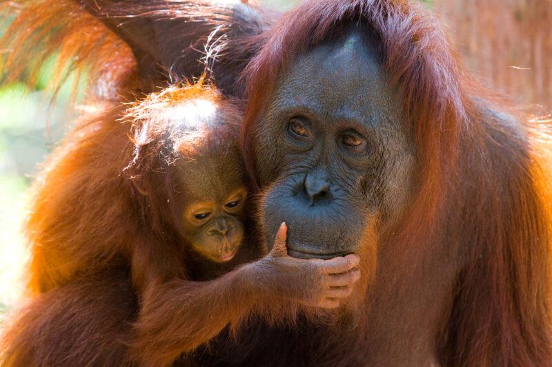 Selva de Sumatra - 3 dias