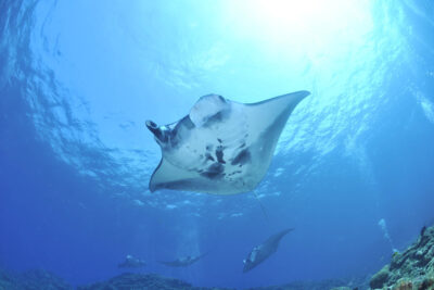 mantas indonesia
